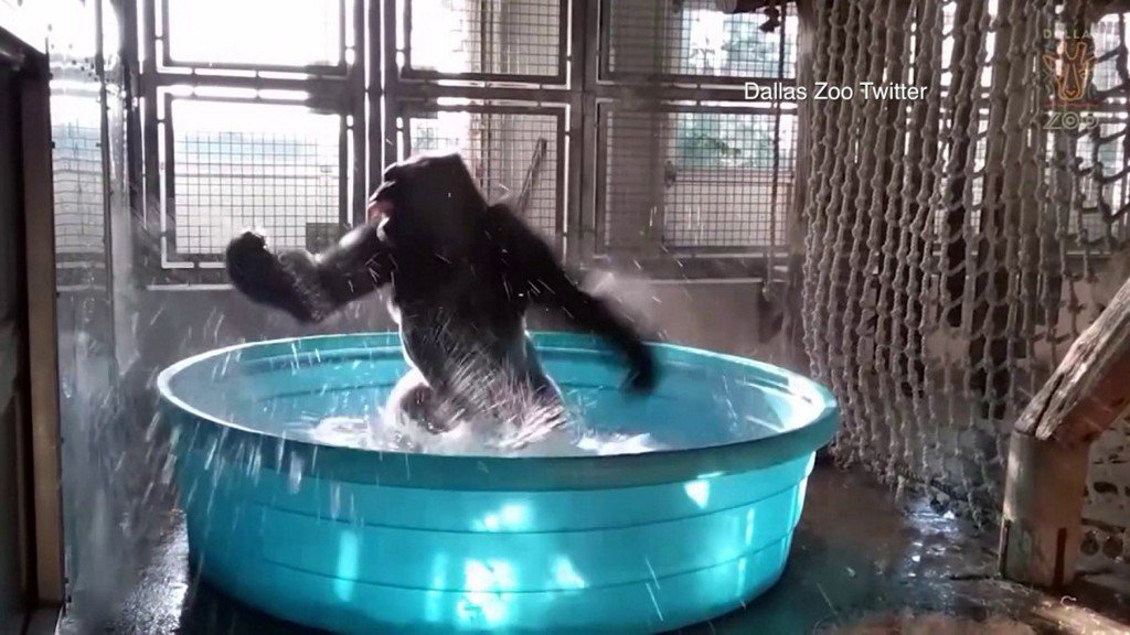 Dancing gorilla shows off 'Splashdance' routine at Dallas Zoo https://t.co/0vtglw14lc