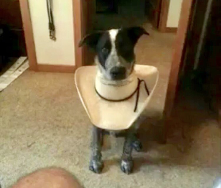No need to spend $50 on a cone for a dog when you have an old hat! #dog #dogsoftwitter #cowboy <br>http://pic.twitter.com/cL51qq9Nyn