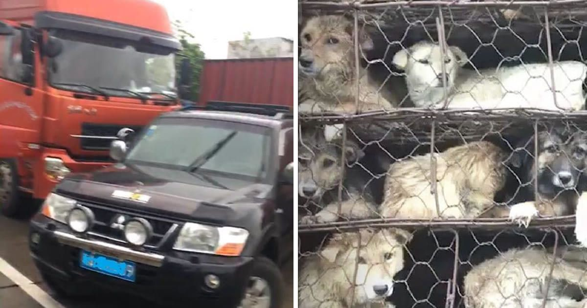 People See Truck Carrying 800 Dogs To Be Killed — And Rush To Save The...