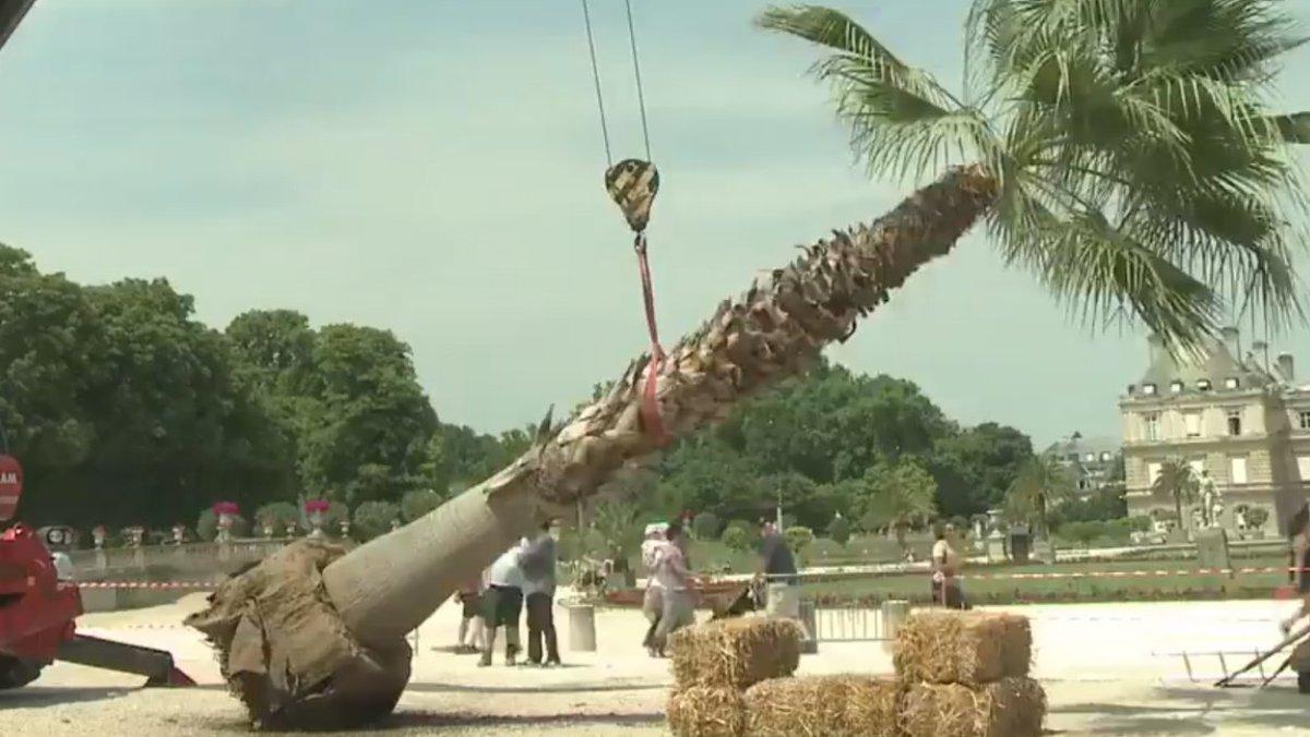 Paris: deux palmiers de 3,5 tonnes forcés de quitter le jardin du Luxembourg https://t.co/9cqlSJzz7W