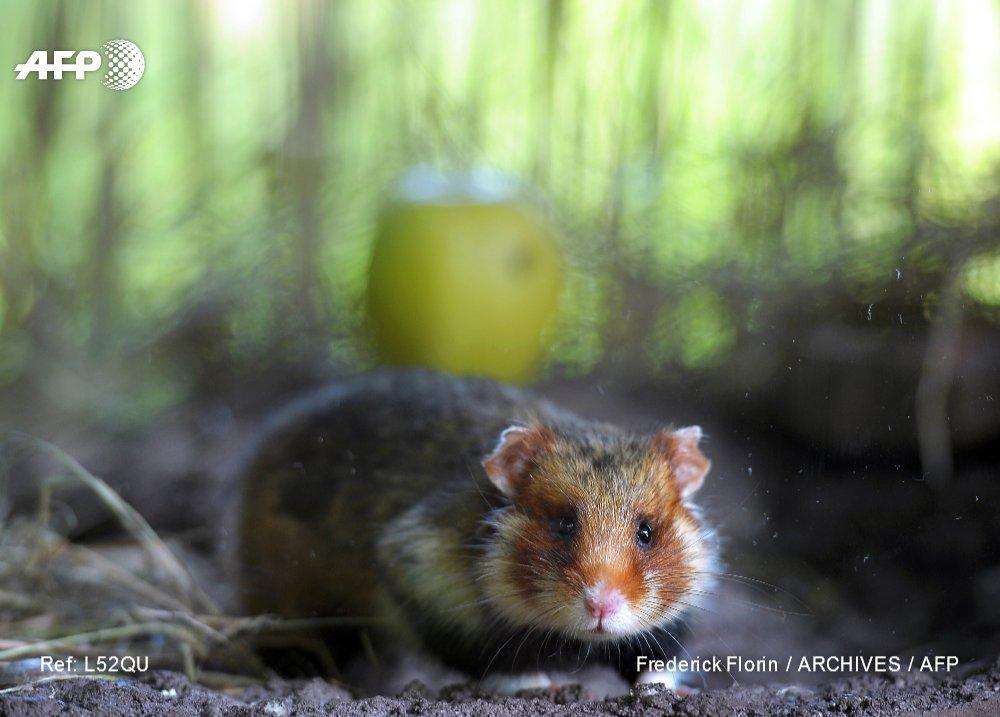 Effectifs en hausse pour le grand hamster d'Alsace, espèce menacée https://t.co/fxh0Gbni6c #AFP