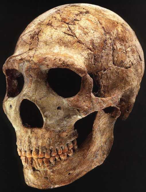 "Amud paleoanthropology+ on twitter: ""amud 1 skull - largest neanderthal"