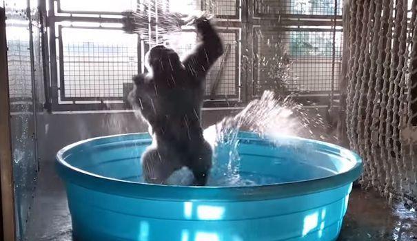 #repost VIDÉO. La danse de la joie communicative d'un gorille du zoo d...