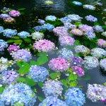 梅雨らしく雨が続いているので以前にUPした紫陽花を。この紫陽花の綺麗な山寺では、終わりかけで摘花した…