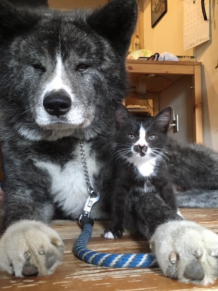 【 ご報告 】 弟分ができました。( ̄∀ ̄) 3日前に突然あわられた迷い猫です。初見からこんな感じです。( ̄∀ ̄)