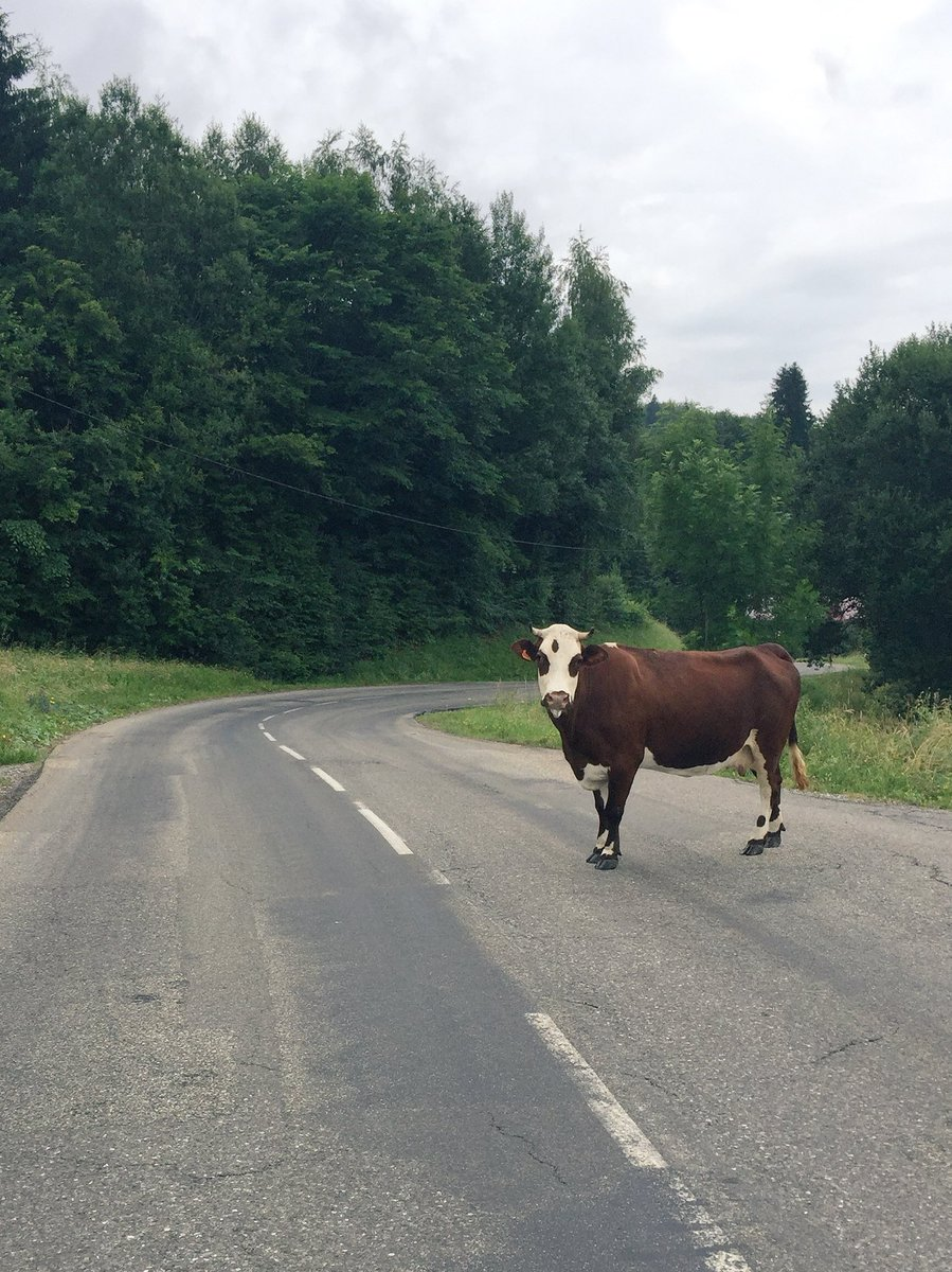 Morning #moo @cyclingalps from Morillon<br>http://pic.twitter.com/tlayb1mnN4