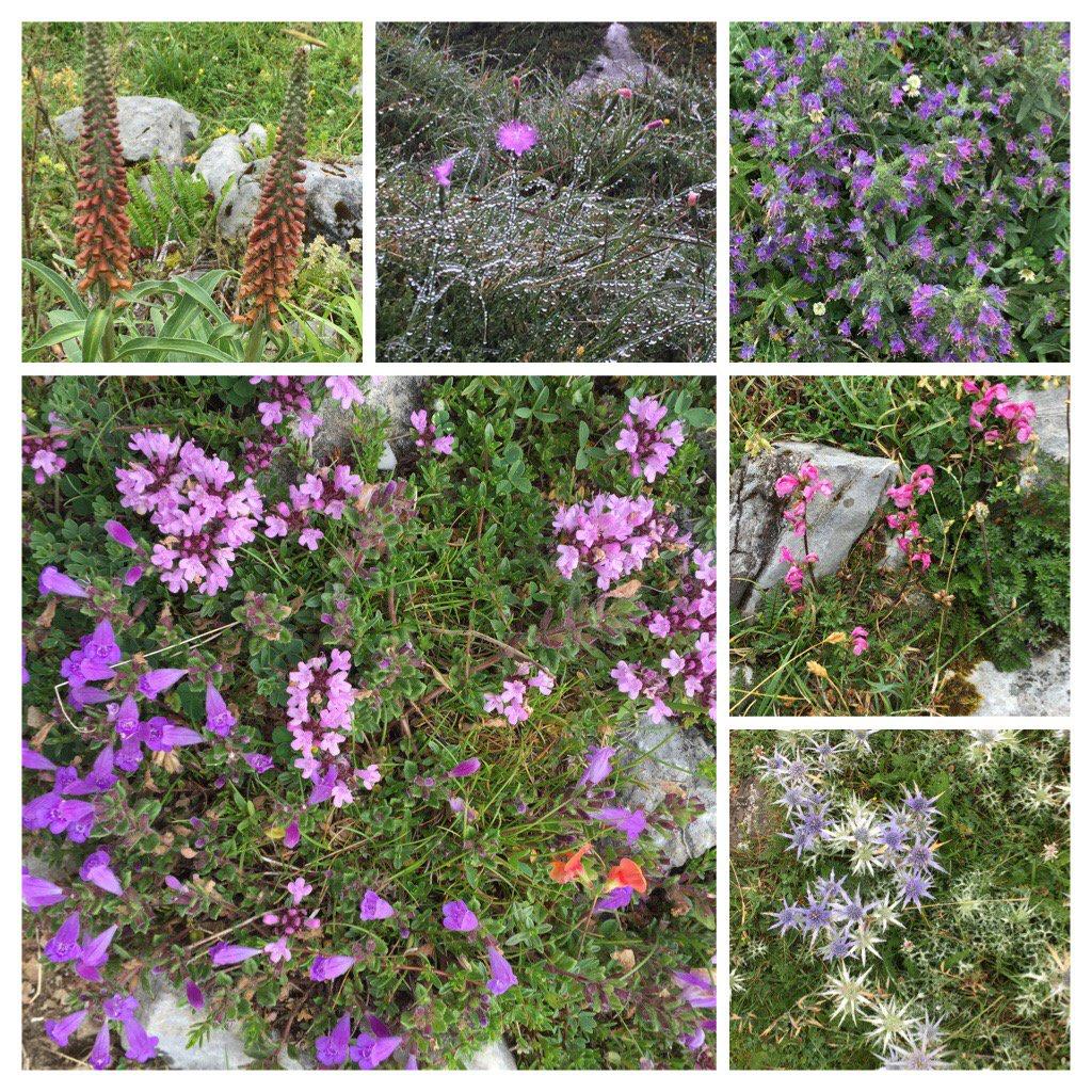 Pretty wild flowers in the #PicosdeEuropa <br>http://pic.twitter.com/KFUOJK5iaL