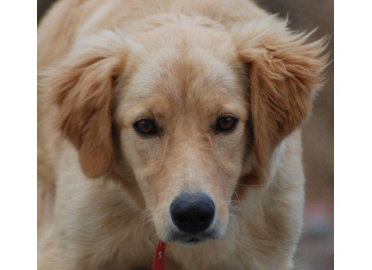 Stunning DOLLY is looking for a home! A 10 month old golden retriever, healthy, bouncy and friendly! #spdc #adopt  https:// spdc.org.uk/dogs/dolly/  &nbsp;  <br>http://pic.twitter.com/WBPzw9j18H