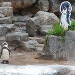 エサやりタイムと聞いてペンギン達が続々と集まっていく中、推しの元を離れないオタクの鑑。ところで今日で…