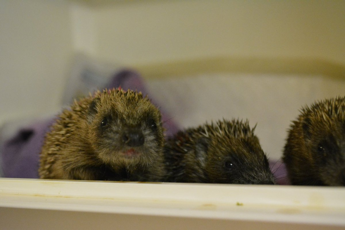 test Twitter Media - A few of our baby #hedgehogs enjoying their lunch, just introduced to solids mixed in with 'milk'. Greedy little critters! #wildlife #hoggys https://t.co/tG2wkx1b4D
