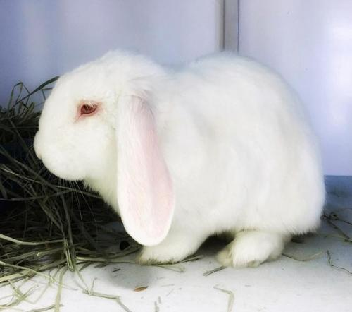 Trudeau is a friendly, young Lop Eared from #Chicago, IL.  http://www. petfinder.com/petdetail/3769 4232 &nbsp; … <br>http://pic.twitter.com/nRJBgrspHM