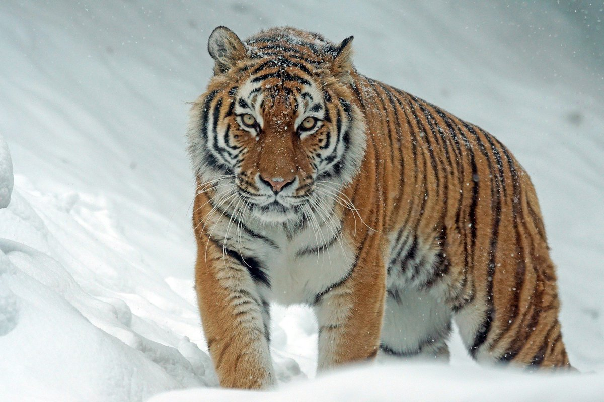 Anti-poaching drive brings Siberia's tigers back from brink: https://t.co/BM9MfozWrD #WildforLife