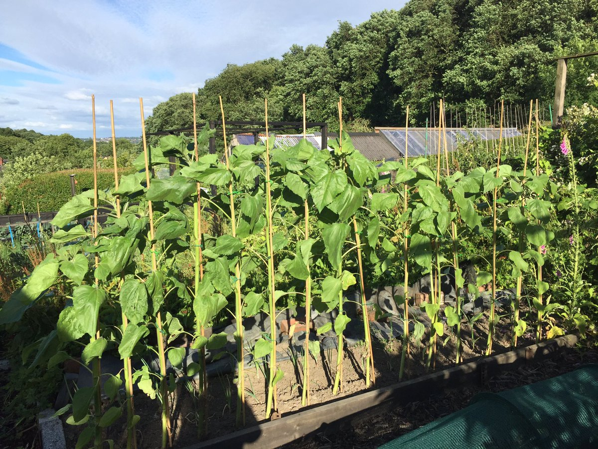 #Sunflowers are getting taller, hopefully they&#39;ll look amazing when the bloom! #alloments #RustlingsRoad #SheffieldIsSuper<br>http://pic.twitter.com/xWOifU8J1Y
