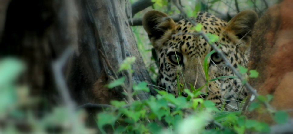 #Jaguars have declined devastatingly in the last 50 years! #Volunteer with us and help us conserve them! |  http:// bit.ly/WV_jaguar/  &nbsp;  <br>http://pic.twitter.com/m0WnC6nWHg