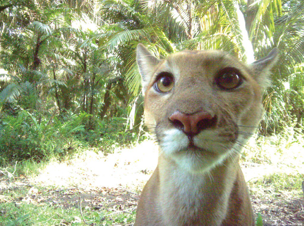 This #puma wishes you a happy #SelfieSunday from Belize. See more adorable animals at  http:// bit.ly/2t67Q18  &nbsp;  <br>http://pic.twitter.com/nZ02Sb2LpX
