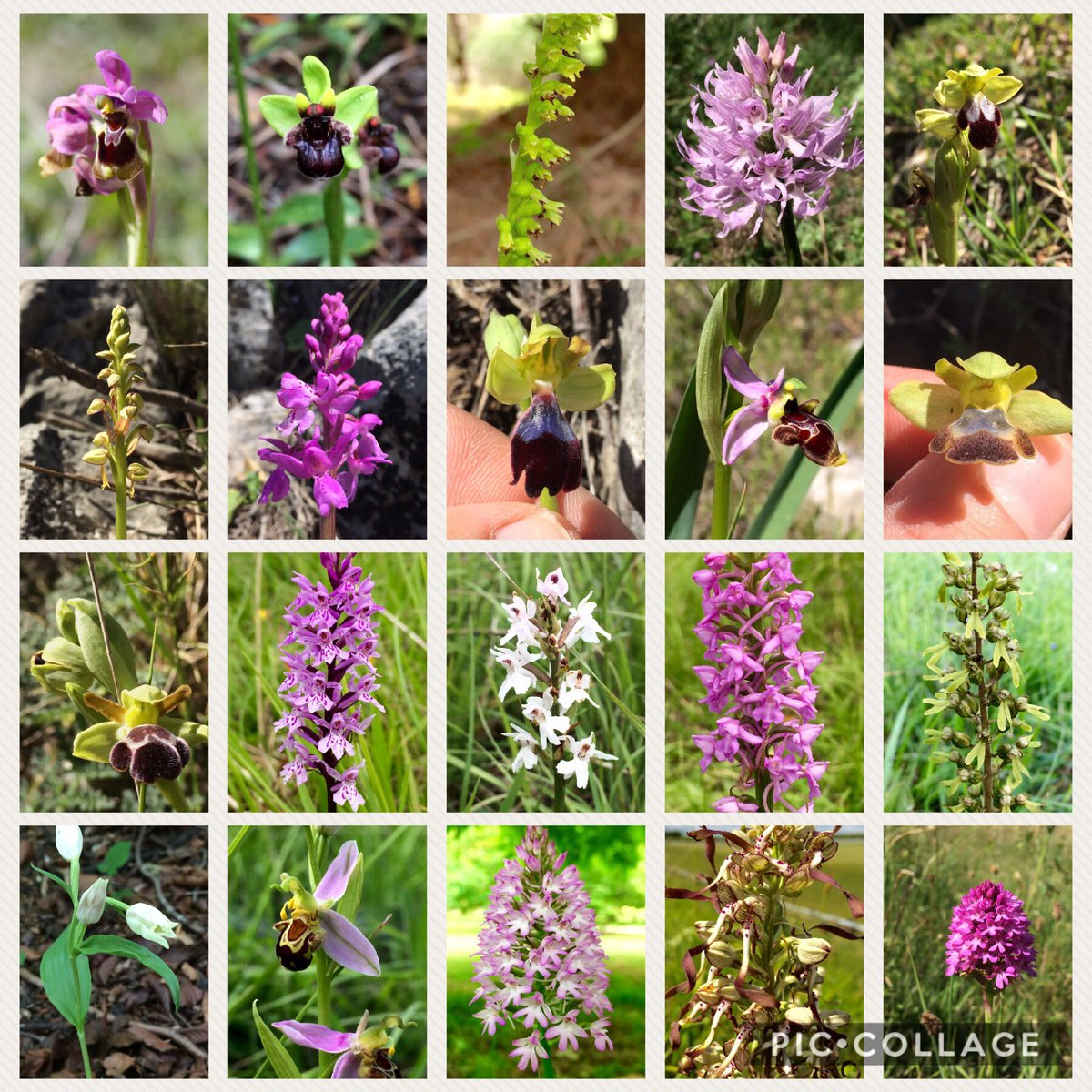 So far it has been a fantastic #year for me seeing many #European #terrestrial #orchids...and there are so many more to see!! #Orchidaceae<br>http://pic.twitter.com/5ocf7Kw6kC
