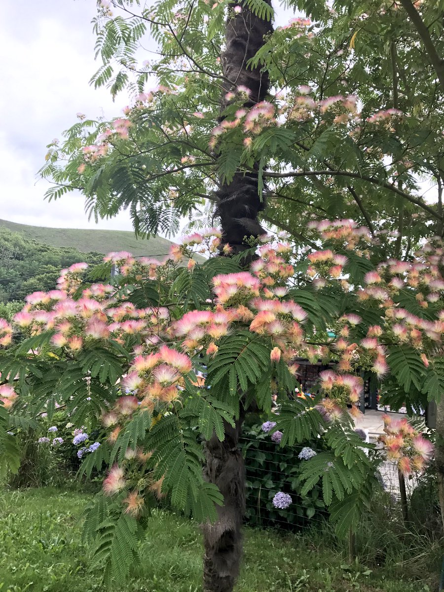 Fred On Twitter Albizia Flowers Silk Tree Fabaceae