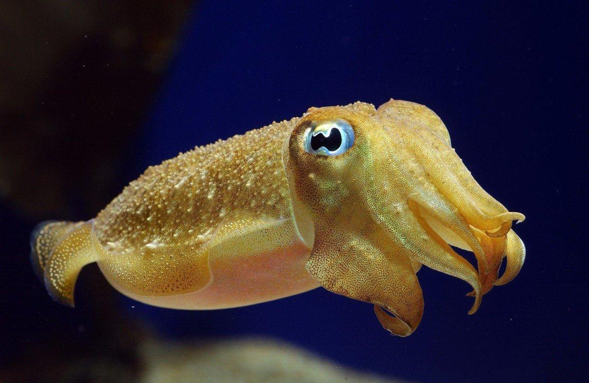 cute cuttle fish - HD2560×1600