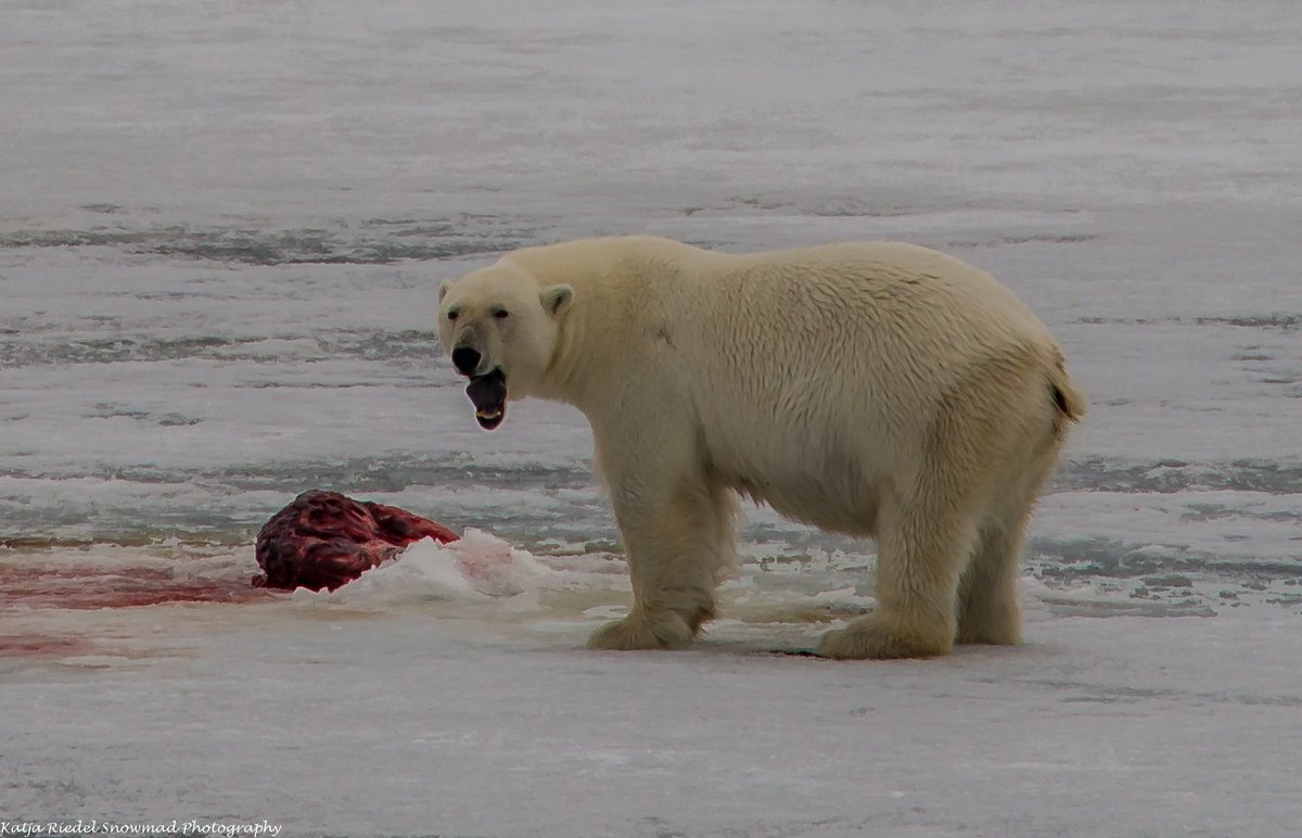 The bear was relaxed, enjoying a fresh kill, standing up to move a few steps to lay down to enjoy his kill. #polarbear #wildlife #svalbard<br>http://pic.twitter.com/VTjZN6Hwof