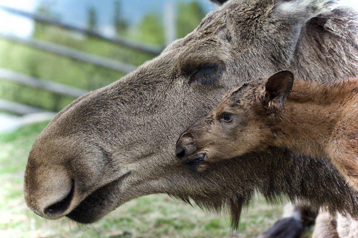 Love  Moose mum and calf at Langedrag Naturpark © Gro Saugerud #Norway #Buskerud #wildlife #moose #mooselove @Uvdal_no @Buskerudfylke<br>http://pic.twitter.com/84uoLwY1LM