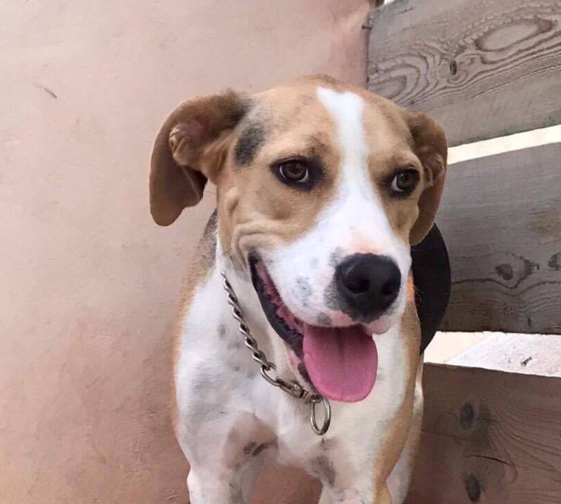 Found wandering, no owner could be found, sweet Gatsby has a wonderful friendly nature &amp; longs for a home  #ADOPT #uk #Germany #Holland<br>http://pic.twitter.com/i72Hzb97Mo