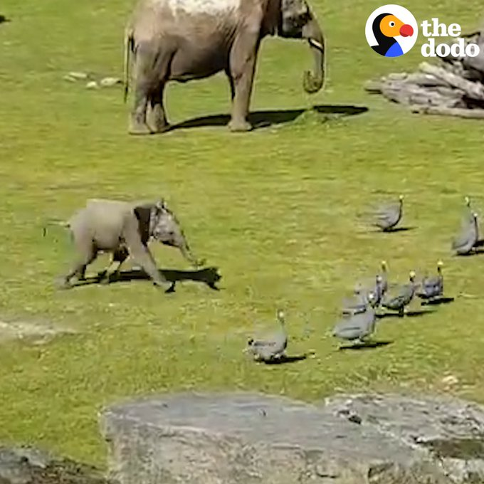 This baby elephant got so excited chasing birds, he couldn't keep his balance 🐘💕