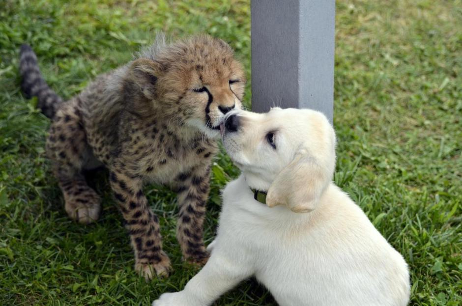 Just learned that Cheetahs are really ne...