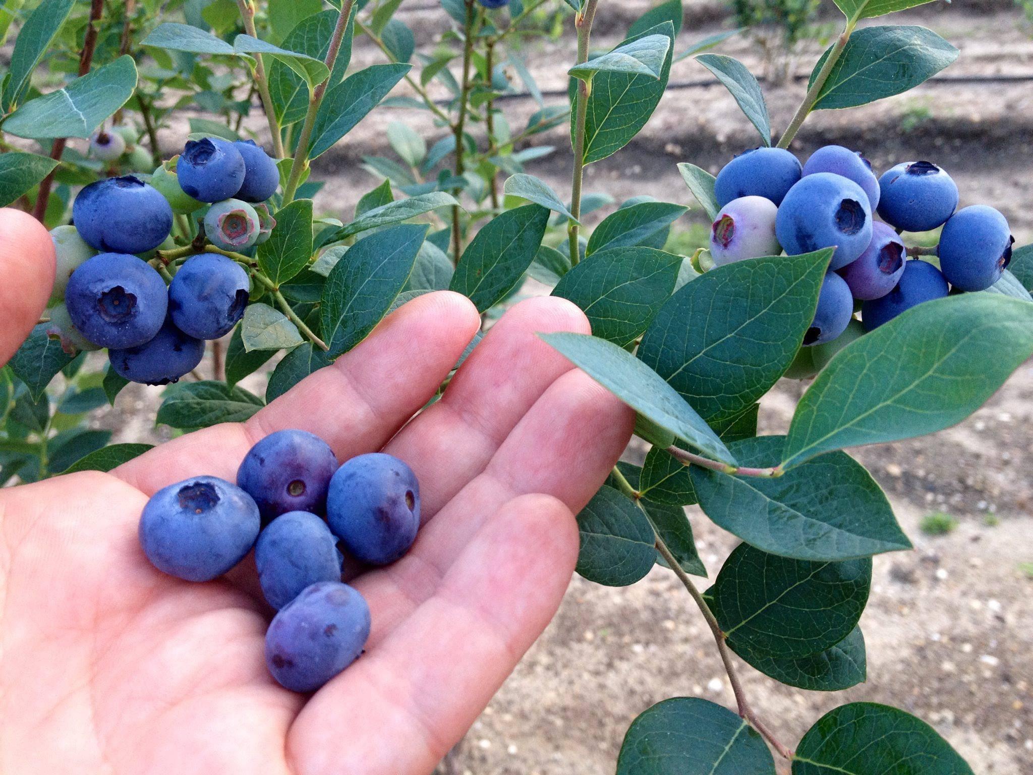 المشتل الإلكتروني Di Twitter التوت الأزرق Blueberry ينمو فالمناطق الباردة و يتكاثر بالبذور و العقل جربت زراعة خمسة أنواع وهي Duke Elliott Reka Bluecrop Legacy Https T Co Azxzwlbsph