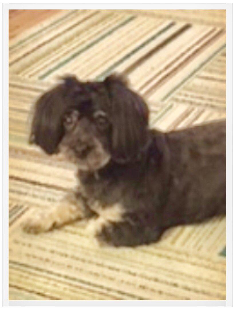 NYC MISSING DOG ALERT: Samson, 10-lb Havanese at 64th between 1st/2nd Manhattan. Chip 4B1016546F Call:8884663242 Please RT