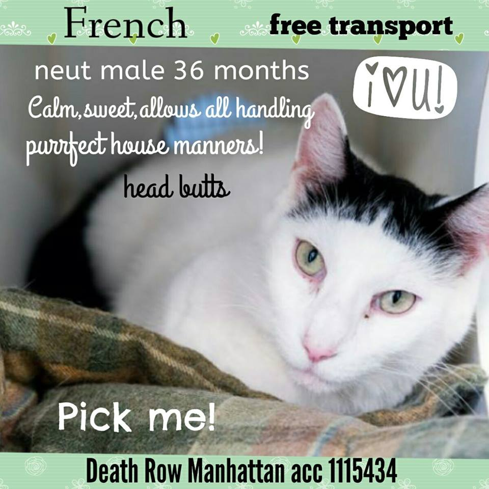 FABULOUS FRENCH A HEAD BUTTING LOVE WHO NEEDS U NOW!  CALM &amp; SWEET,&quot;purrfect house manners!&quot; SAVE HIM! #cats #NYC  https://www. facebook.com/mlcsavingnycca ts/photos/a.1806018602982280.1073741941.1606936636223812/1874159519501521/?type=3&amp;theater &nbsp; … <br>http://pic.twitter.com/z3FxQ2alE0