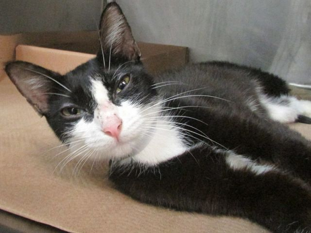 """SAVE FABULUOS FLASH - A1116291!  """"SWEET, SOCIAL &amp; TERRIFIC TUX IS ON TONIGHT&#39;S LIST ...  http:// nyccats.urgentpodr.org/flash-a1116291/  &nbsp;   #NYC #cats #tuxies<br>http://pic.twitter.com/uwTfwMJ6hY"""