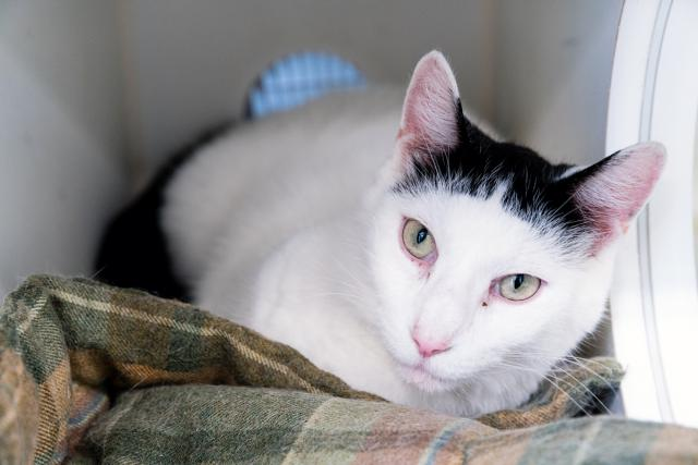 #URGENT #NYC #CATS fabulous beauty FRENCH needs US by 6/27-PLS RT/adopt/pledge/foster!  http:// nyccats.urgentpodr.org/french-a111543 4/ &nbsp; … <br>http://pic.twitter.com/kCP6iGIN1l