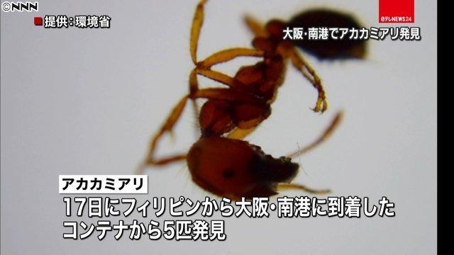 【調査進める】毒アリ「アカカミアリ」、大阪で初めて確認 https://t.co/GmplQMgXMu  今月17日に、フィリピンから到着したコンテナで5匹見つかった。大阪府は「見つけても触らず、通報してほしい」と呼びかけている。