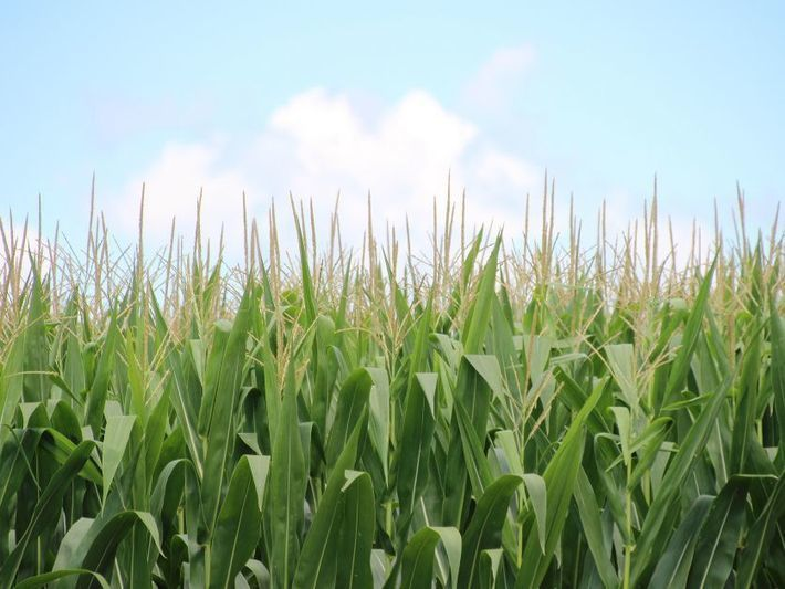 Corn genome research bodes well for plant's adaptation to climate change via @Plantsci_ups #agronomy  https://www. agri-pulse.com/articles/9400- corn-genome-research-bodes-well-for-plants-adaption-to-climate-change?utm_medium=social&amp;utm_source=twitter &nbsp; … <br>http://pic.twitter.com/rp34Nlzucn