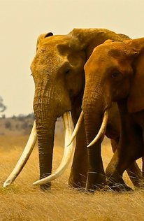 Can you become a champion for giant 'tusker' elephants like Satao II?...