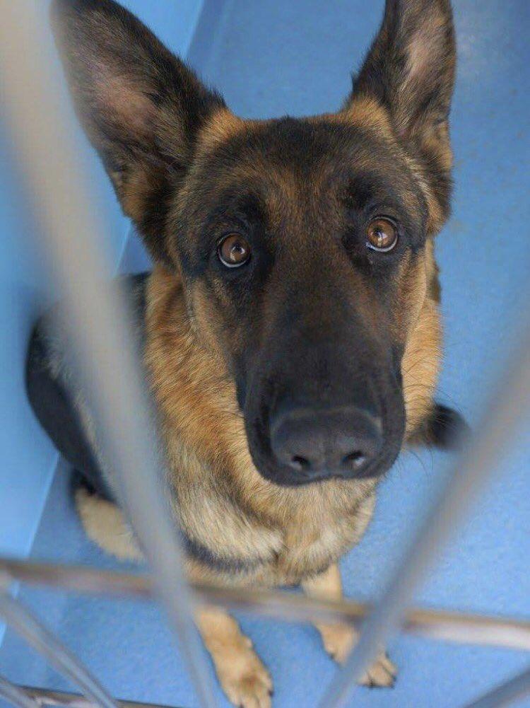 #CA #BaldwinPark #SOS URGENT 2yo sweet, friendly #GSD needs a home fast! Pls #adopt #Rescue #pledge #foster HELP!  https://www. facebook.com/photo.php?fbid =1574238755921289&amp;set=a.1158875840790918.1073741895.100000055391837&amp;type=3 &nbsp; … <br>http://pic.twitter.com/d8UpjFRlCx