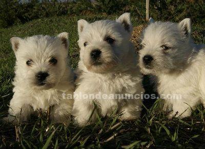 Westy cachorros nacionales de primera calidad #Vizcaya #adopcion #masc...
