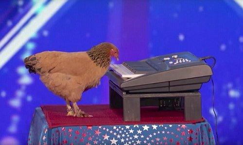 Lần đầu tiên Ad mới biết là gà cũng có thể chơi piano😍 https://t.co/T6...