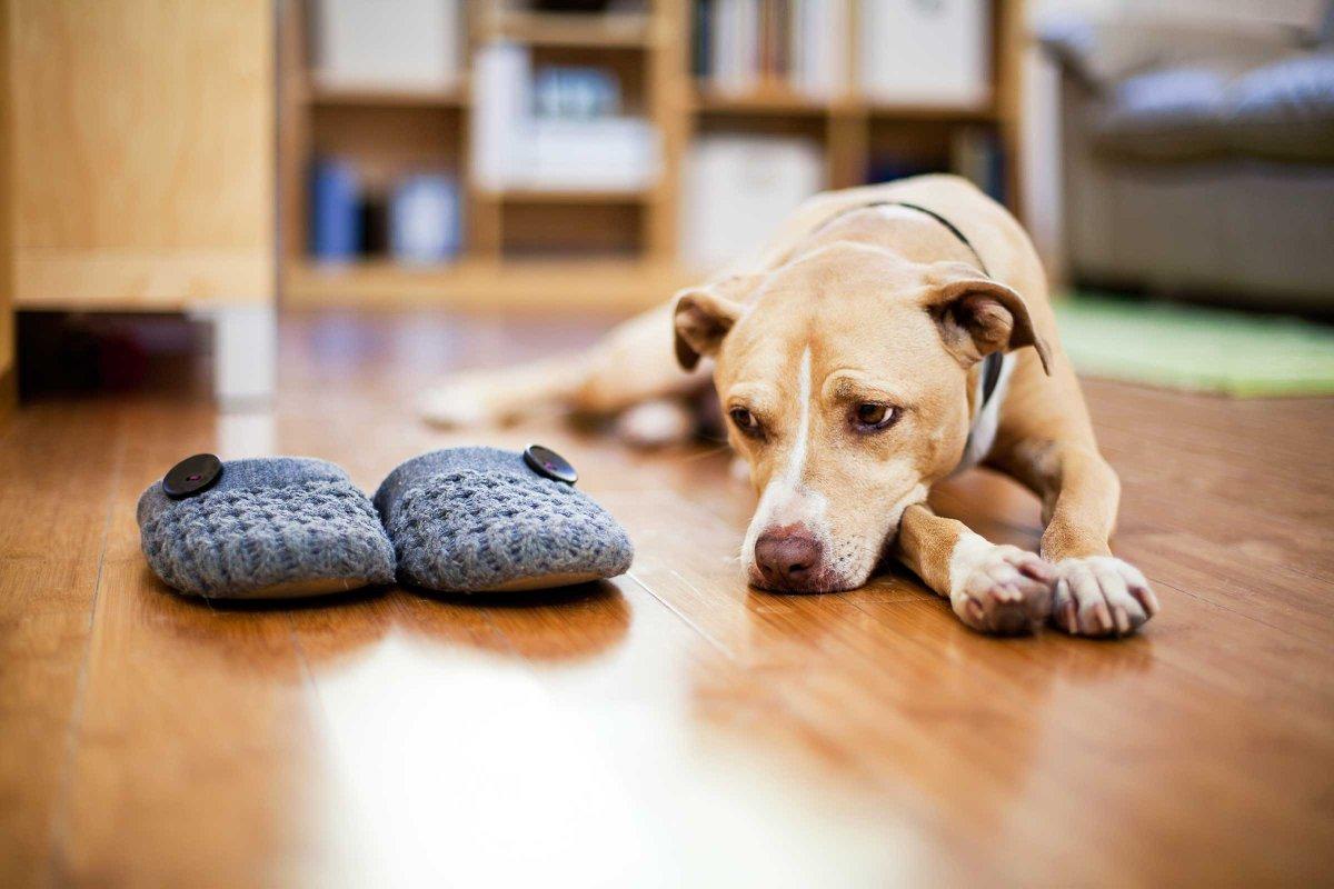 картинки собака с тапками