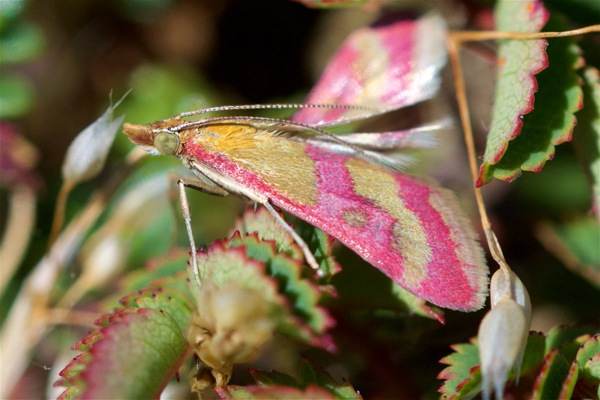 Scarce Crimson and Gold Moth ( Pyrausta sanguinalis ) Smeale, Isle of Man #rare #moth<br>http://pic.twitter.com/fiMEjZDpEI