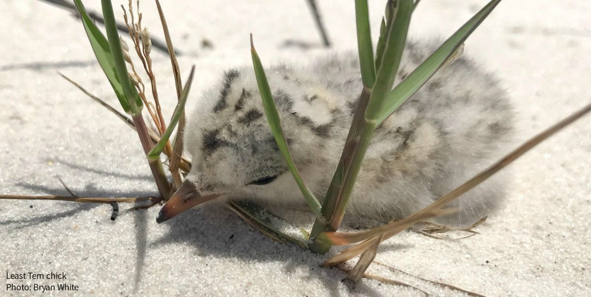 Tropical Storm Cindy just wiped out most of the shorebird chicks in the Gulf of Mexico.  http:// ow.ly/PAtX30cY1My  &nbsp;   #climatechange <br>http://pic.twitter.com/x6tCA9B1tF