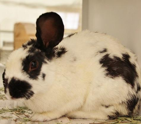 James Hopen is a young bunny rabbit from #LasVegas, NV.  http://www. petfinder.com/petdetail/3842 3131 &nbsp; … <br>http://pic.twitter.com/mQSzfYX8Rt