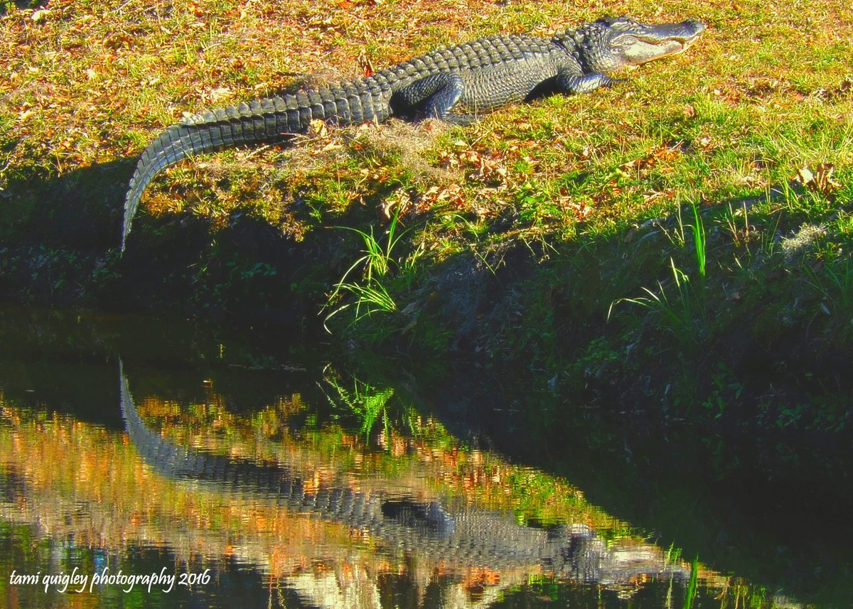 He&#39;s Just Whistlin&#39; Dixie  https:// tami-quigley.pixels.com/featured/hes-j ust-whistlin-dixie-tami-quigley.html &nbsp; …  #WildlifeWednesday #Lowcountry #SouthCarolina #LehighValley #egallop #prints #gifts #art<br>http://pic.twitter.com/3ilgzOh1Hr
