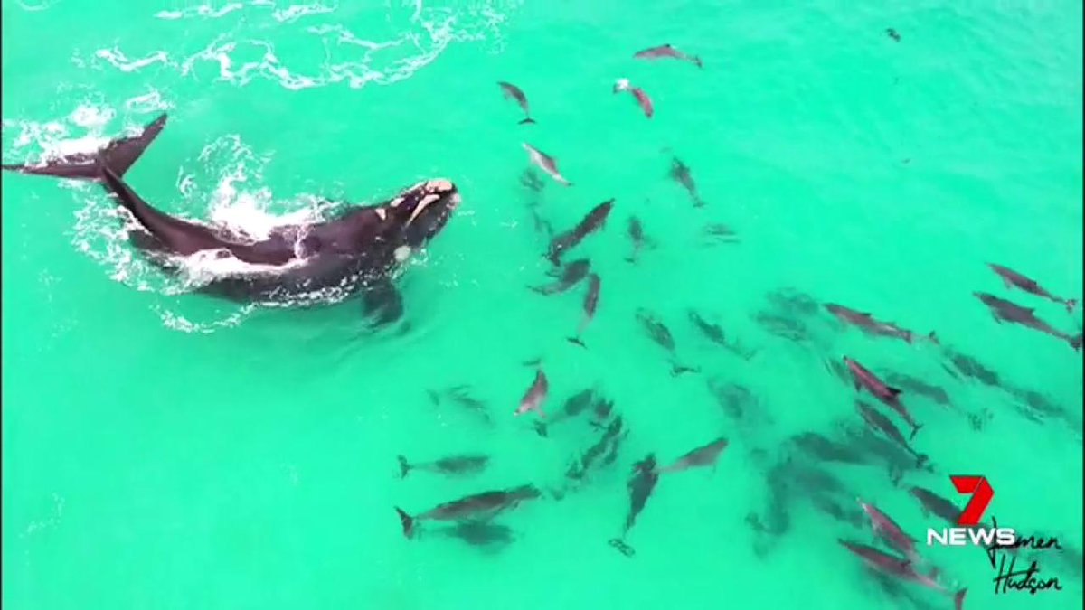 Incredible drone vision has captured a very special play-date between a whale & a pod of dolphins. #7News