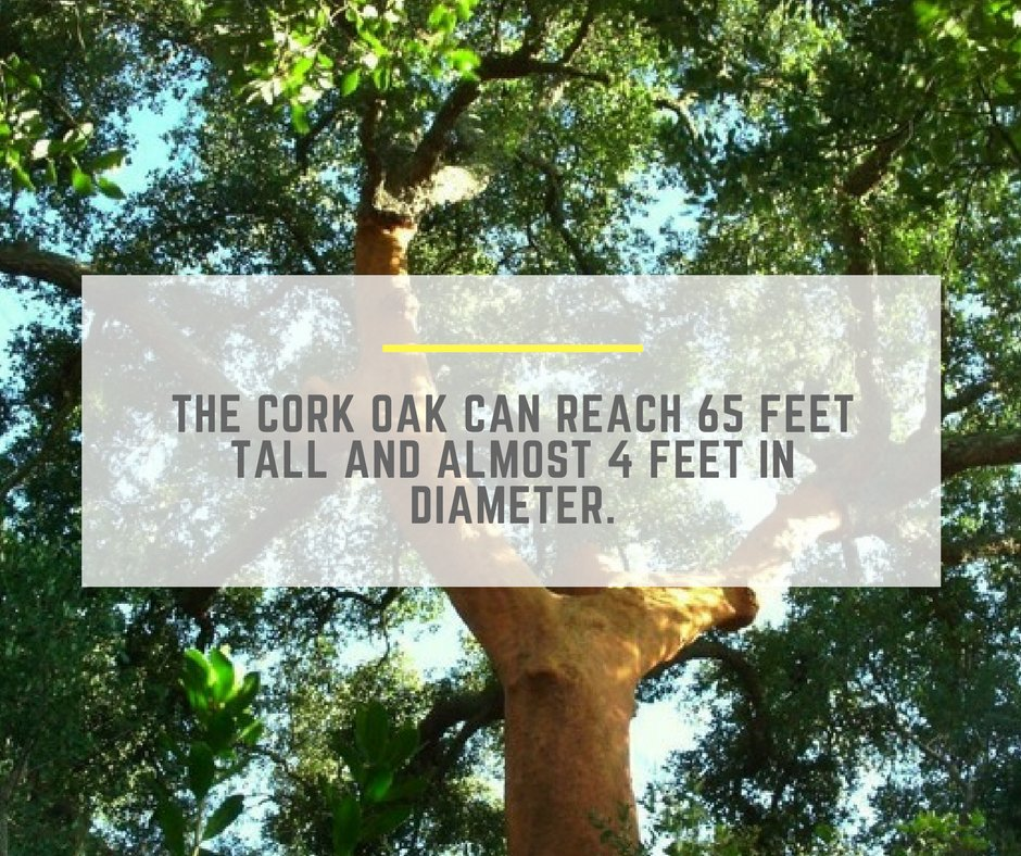 Now imagine a whole forest of these trees! Have you ever seen one? #TheCorkHouse #Cork #CorkFacts #Trivia #EcoFriendly #ThinkGreen #Portugal<br>http://pic.twitter.com/mGXGFqEoc9