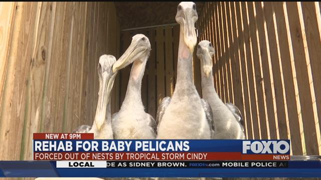 Baby brown pelicans displaced by Tropical Storm Cindy being cared for in Mobile https://t.co/g7kQuUFhLK