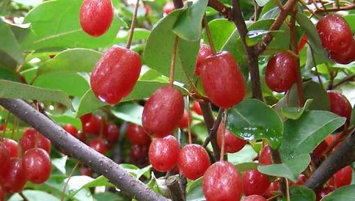 田舎あるある?w野生の木の実を食べたことある人が多数www