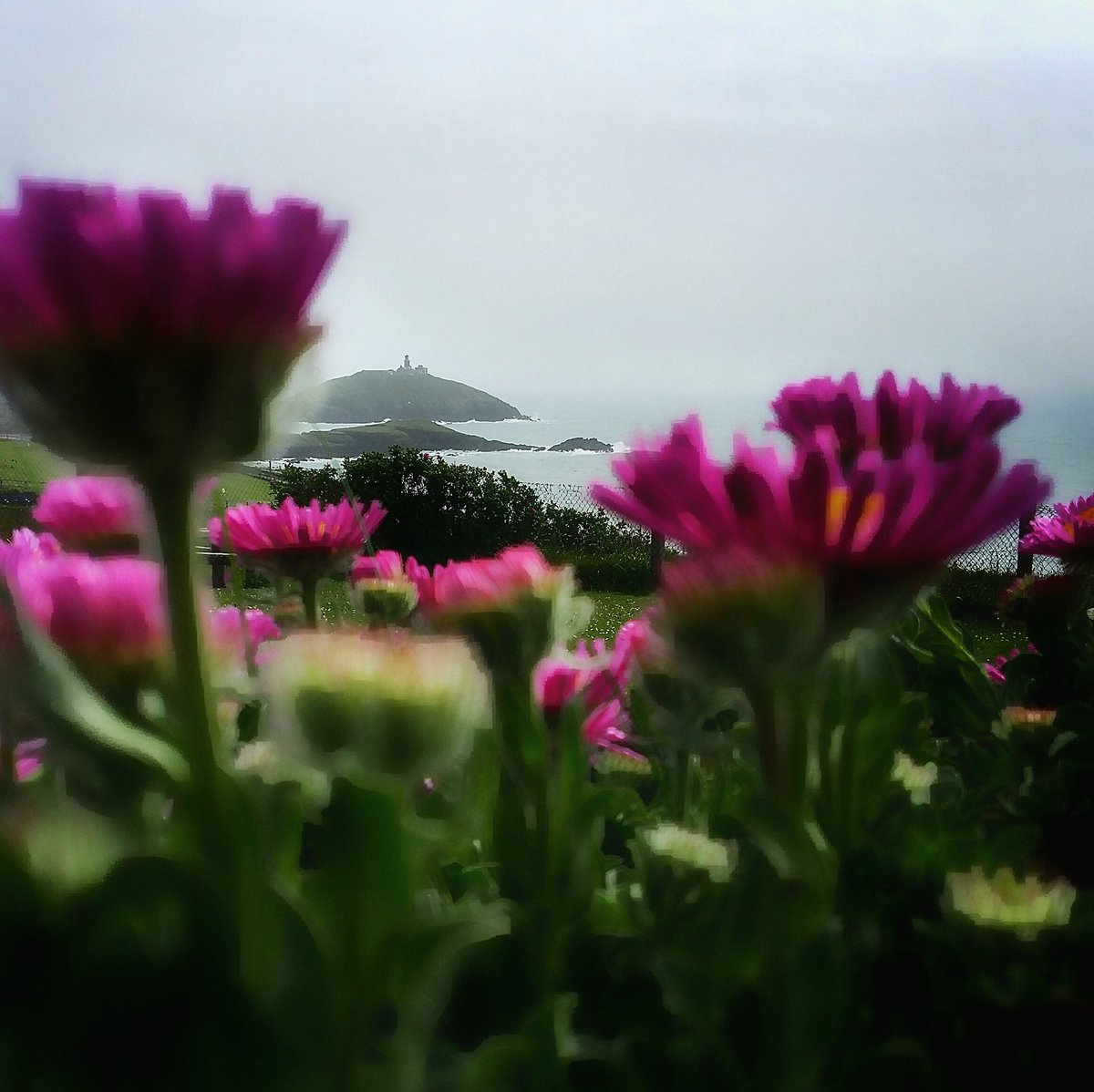 Seaside Daisy in the mist at Ballycotton, Co.Cork. @RandomCorkStuff @PhotosCork @yaycork #Ballycotton #cork <br>http://pic.twitter.com/kcfEARE3id