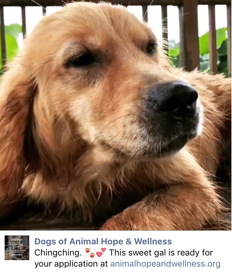 Precious, ChingChing  #GoldenRetriever Saved By #MarcChing From #China&#39;s #DogMeatTrade #Adopt  .@AHWFoundation  https:// m.facebook.com/story.php?stor y_fbid=1032747676860553&amp;substory_index=0&amp;id=791155421019781&amp;__tn__=%2As &nbsp; … <br>http://pic.twitter.com/VGxowub8m0