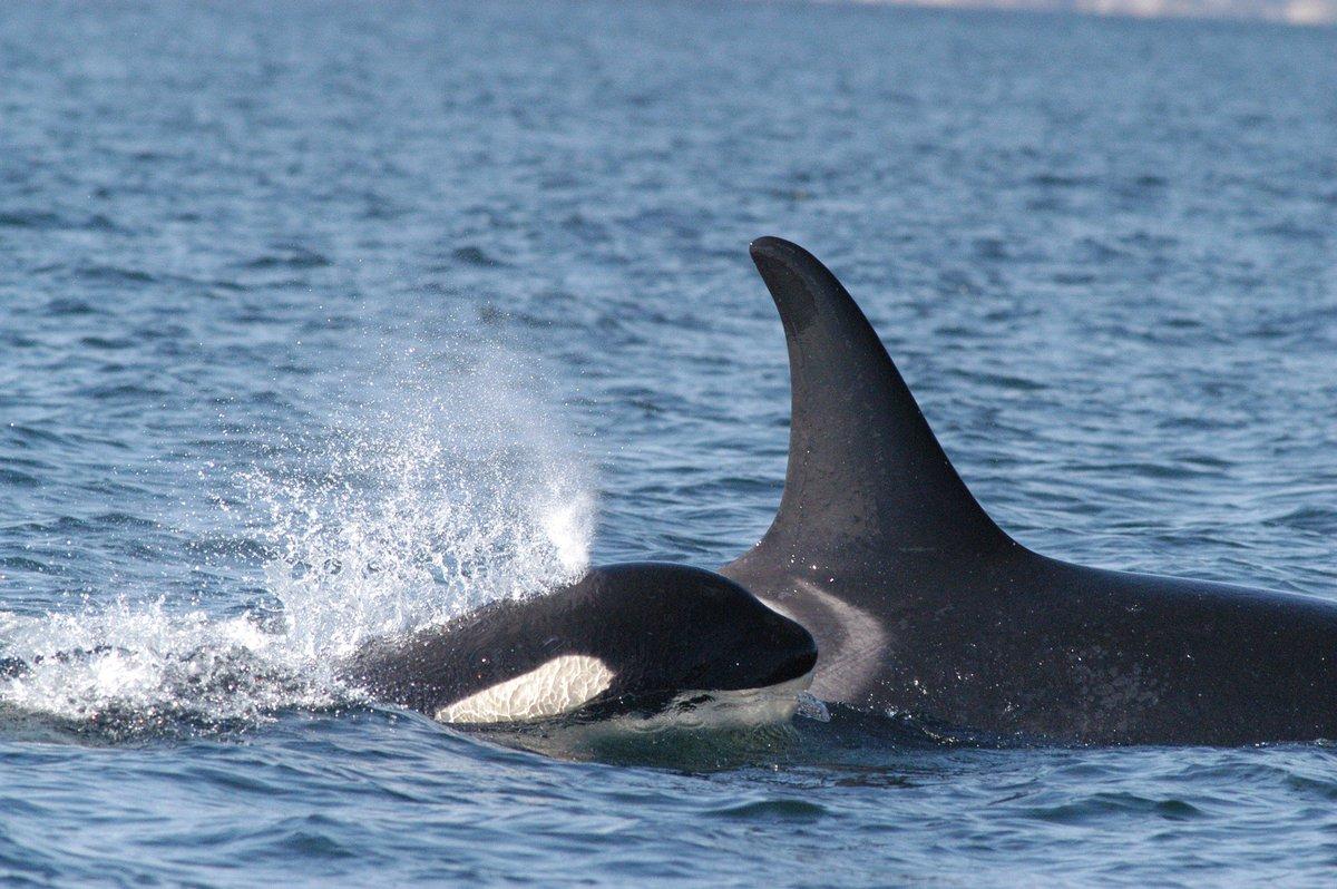 S  Africa: Orca Killer Whales Feeding on Great White Sharks